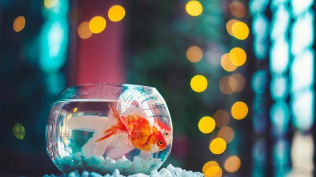 JAPONICA STYLE(ジャポニカスタイル)MVの金魚はここ!【SixTONES(ストーンズ)】